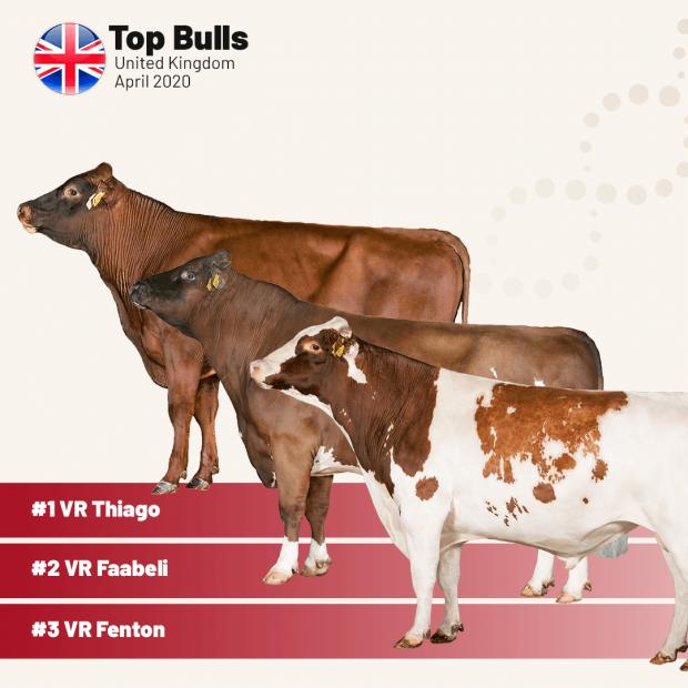 Top 3 Viking Red bulls